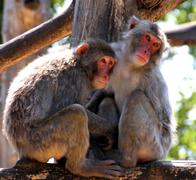 japanese macaque mother and daughter - stock photo
