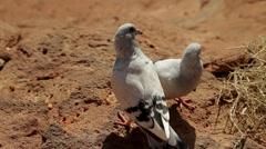 Lovebirds Stock Footage