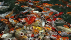 Hungry carps koi protruding from the water Stock Footage