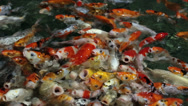 Stock Video Footage of Hungry carps koi protruding from the water