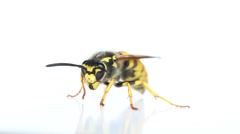 Wasp on a white background - stock footage