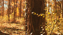 Timelapse autumn tree with vines snaking up trunk. Stock Footage