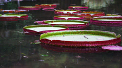 Panning shot of pink and green waterlillys in Botanical gardens. Stock Footage