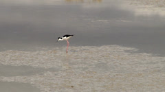 Black-necked Stilt Stock Footage