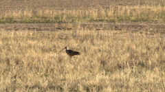Long-billed Curlew Stock Footage