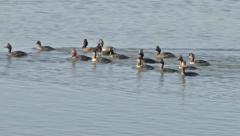 Eared grebes Stock Footage