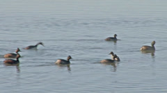 Eared grebes - stock footage