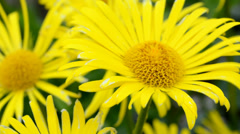 Yellow flower of a perennial - stock footage