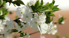 White butterfly flying from the white flowers, blossom trees close up. Stock Footage