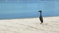 Heron Jamaica Stock Footage