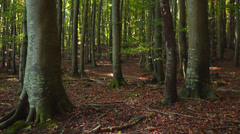 Big Beech Trees In A Forest With Foliage On The Ground Stock Footage