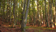 Stock Video Footage of Trees In A Forest With Foliage On The Ground