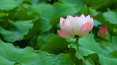 Lotus flowers in pond, xi'an, shaanxi, China Stock Footage