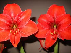 Amaryllis detail of red flower  - stock photo