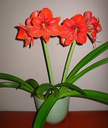 Amaryllis red flower in the pots Stock Photos