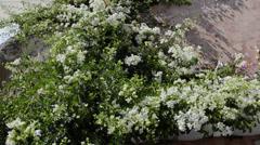 Stock Video Footage of white flowers in Santorini Greece in Greek Islands