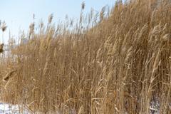 Reeds in winter nature Stock Photos