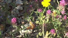 Butterfly  On Clover Stock Footage
