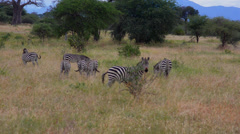 Kenya Africa Amboseli National Park scenic of tree zebras in reserve Stock Footage