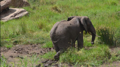 tarangire National Park Tanzania Africa safari elephant near river grazing on - stock footage