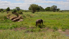 Tarangire National Park Tanzania Africa safari elephant near river grazing on Stock Footage