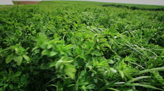 Clover field on the wind Stock Footage