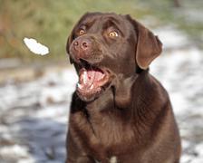 Chocolate labrador with open mouth Stock Photos