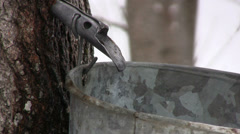 Maple Sap Drips at a steady Pace from Spile in Nova Scotia. - stock footage