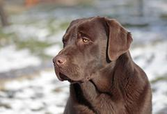 Chocolate labrador sitting in the snow - stock photo