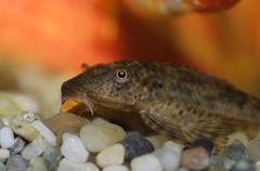 Akvaario ruma kala Kuvituskuvat