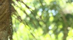 Golden Silk Orb-Weaver Spider 1 - stock footage