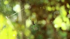 Golden Silk Orb-Weaver Spider 2 - stock footage