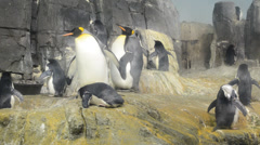 Penguins in Central Park Zoo. New York, USA. Stock Footage