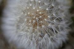 dandelion seed close up - stock photo