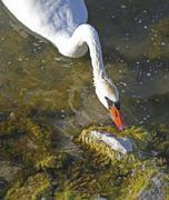 A swan on the water eating algae. Stock Photos