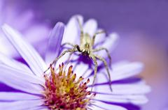 Stock Photo of Spider on a violet flower