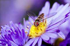 Insect on a violet flower - stock photo
