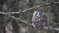 Boreal Owl, Aegolius funereus Stock Footage