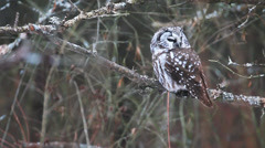 Rare view of Boreal Owl, Aegolius funereus Stock Footage