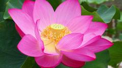 Pink Lotus Bloom. Green Leaves Background Stock Footage