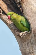 Rose-ringed Parakeet, perched on a tree branch, nature, copy spa - stock photo