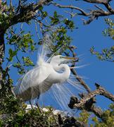 Great Egret Displays Plumage - stock photo