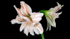 Amaryllis Dancing Queen blooming timelapse Stock Footage