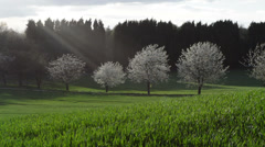 View from a Grassy Hill with Blossom Trees Blowing in Background Stock Footage
