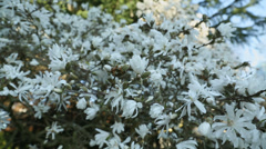 Dolly Shot, White Magnolia Blossoms Stock Footage