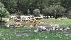Flock of sheep and goats near lake Stock Footage
