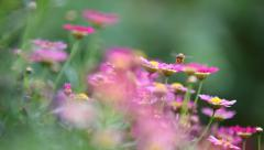 Bee And Flower In The Morning Stock Footage