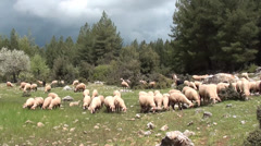 Flock of sheep at the pasture and blue sky Stock Footage