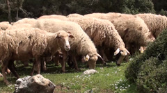 Grazing sheep scared away Stock Footage