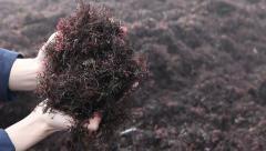 Hands holding brown algae seaweed covered sand beach - stock footage
